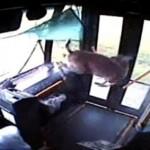 Сърна блъсна автобус, нахлу вътре през стъклото и остана невредима (ВИДЕО)