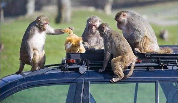 сръчни маймуни