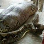 Вижте гигантският питон, който изяжда пиян индиец (ВИДЕО)