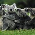 Коала, коали