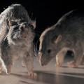 Гризачи, плъх,плъхове, мишка, мишки