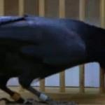 Умна врана решава пъзел в 8 стъпки (ВИДЕО)