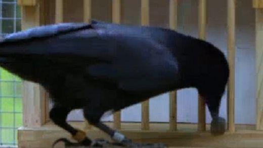 Умна врана