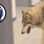 Вълк броди на Олимпиадата (ВИДЕО)