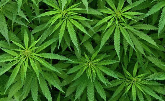 Германия легализира марихуаната за медицински цели